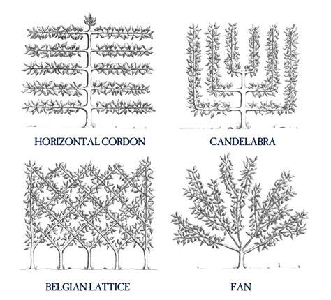 fruit tree spacing chart how to espalier fruit trees stark bro s