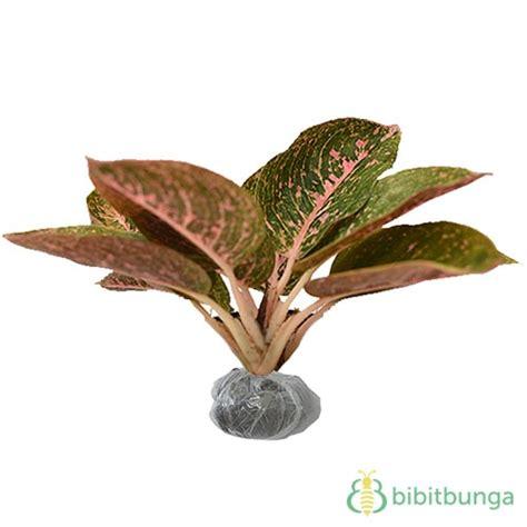 Tanaman Aglaonema Anggun Ayu Cilik tanaman aglaonema metallic bibitbunga
