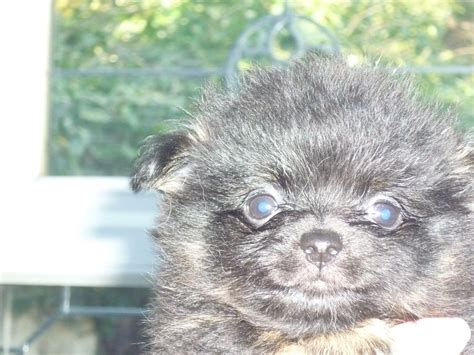 pomeranian puppies for sale in kent pomeranian x chihuahua puppies for sale margate kent pets4homes