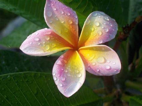 frangipane fiore frangipane fiore piante da giardino frangipane fiore
