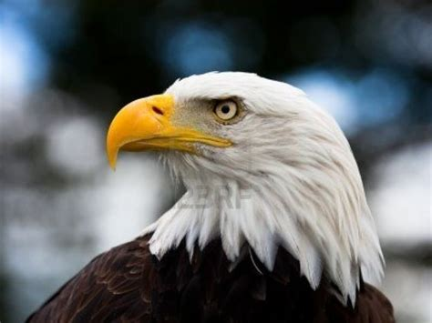 Headed Eagle best 25 bald headed eagle ideas on received