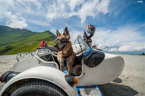 shephard motors glasses helmet german shepherd motor bike dogs