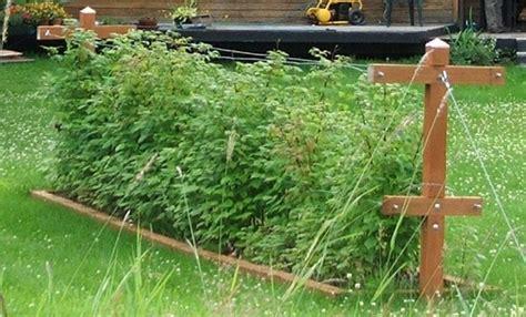 backyard berry plants wasilla alaska garden adventures about chateau listeur