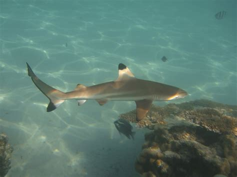 baby shark baby shark 28 images national aquarium sandbar shark