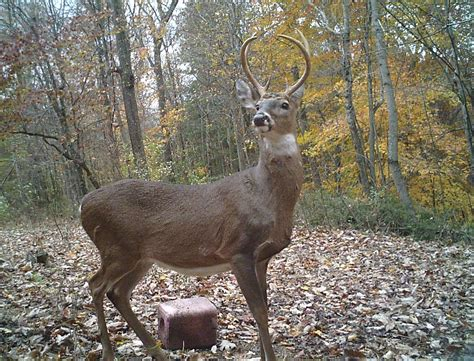 what is a buck buck history