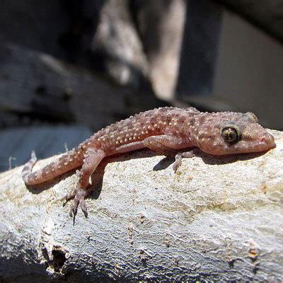 mediterranean house gecko mediterranean gecko facts and pictures reptile fact