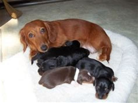 dotsons puppies i my dotson on dachshund adoptable