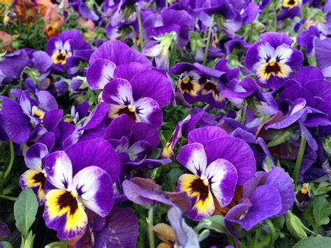 fiorivi sfiorivano le viole viola pensiero archivi oltreilbalcone