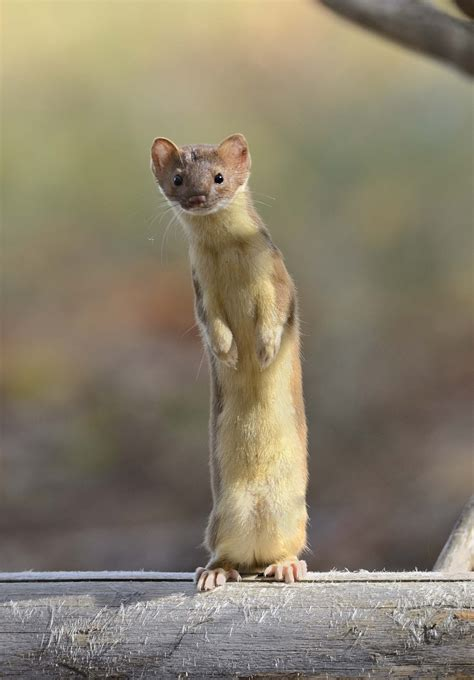 weasel animal facts hd images wallpapers
