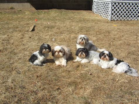 shih tzu family chipanddale shih tzus family photos