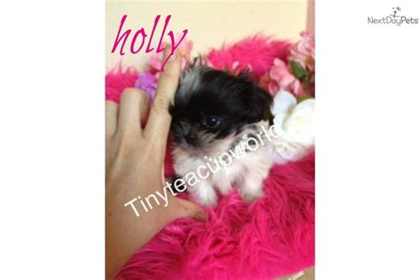 shih tzu puppies for sale in milwaukee wi micro teacup shihtzu puppy for sale