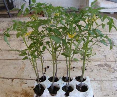 coltivazione pomodoro in vaso coltivare pomodori paperblog