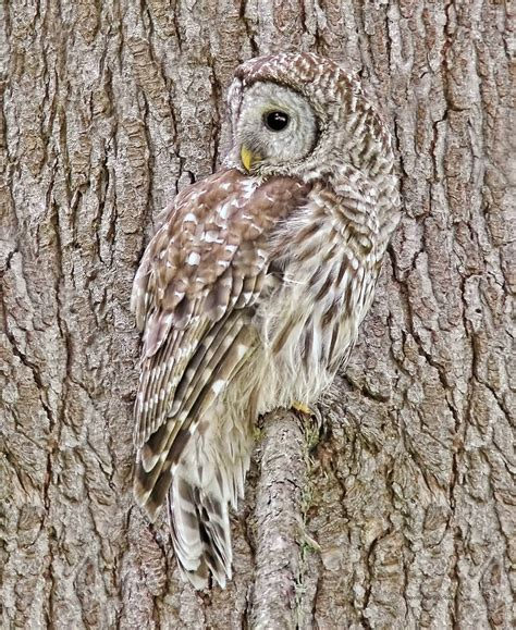 Owl Decor barred owl camouflage photograph by jennie marie schell