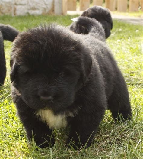 puppy newfoundland newfoundland puppies retford nottinghamshire pets4homes