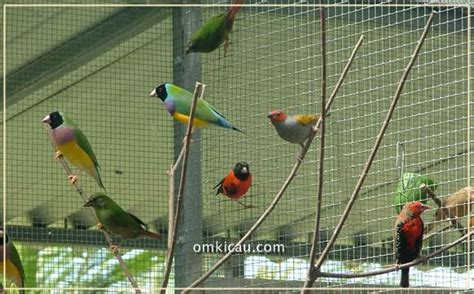 Tempat Pakan Burung Koloni membuat tempat pakan dan minum alternatif di kandang