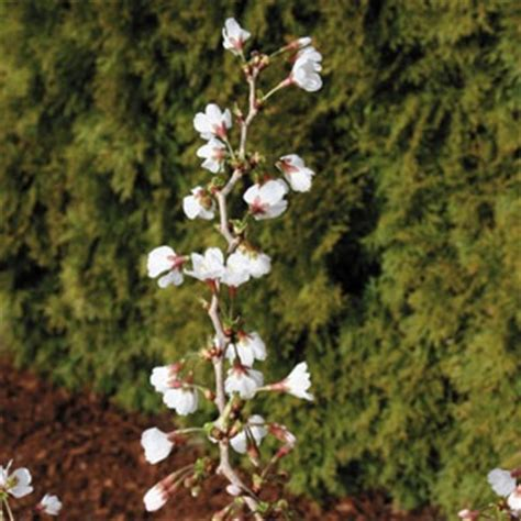 33 cherry tree twist 174 flowering cherry tree here it is the patio accent or small space