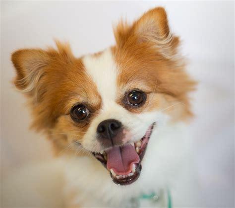 pomeranian pug mix shelter dogs of portland quot thumbelina quot spunky pomeranian