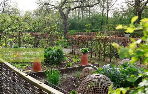 Kitchen Garden Netherlands Gap Gardens Rhubarb Growing In Forcing Jars With