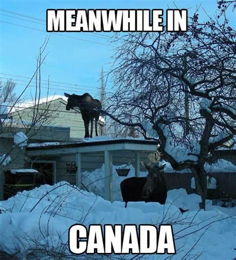 Canadian Moose Meme - funny meanwhile in canada canada pinterest moose
