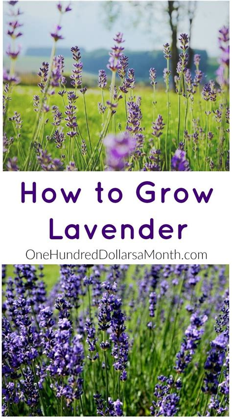 how to grow lavender start to finish lavender seeds