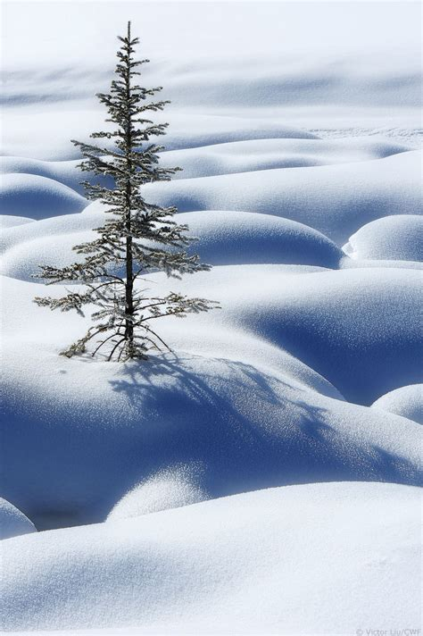 national tree snowy impearial canadian wildlife federation spruce trees of canada