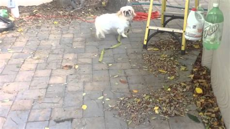 pug peke tzu rescue pug peke tzu rescue spongy looking for his new family