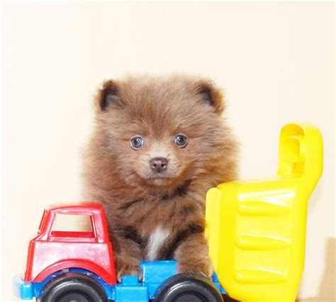 brown pomeranian puppies brown pomeranian puppy puppies and kittens