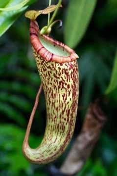 tropical rainforest carnivorous plants highland tropical pitcher plant nepenthes plant facts