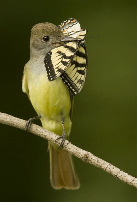 great crested flycatcher birds and butterflies pinterest