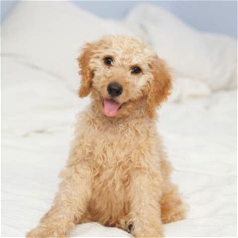 australian doodle puppies for sale finding the best australian labradoodle puppies for sale