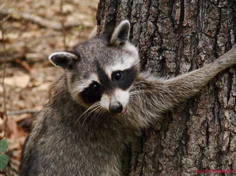 raccoon bat squirrel wildlife removal chicago