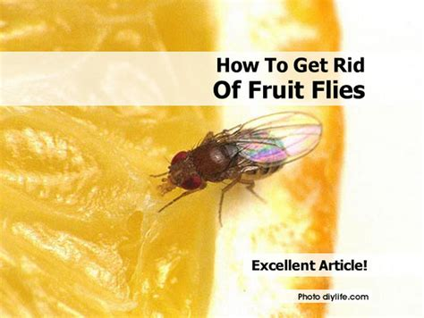 How To Get Rid Of Flies In The House by How To Get Rid Of Fruit Flies
