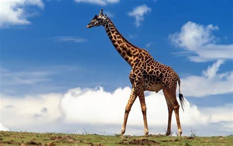 imagenes de tigres y jirafas cuerpo de una jirafa 1280x800 fondos de pantalla y