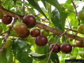 Governors Plum Select Tree Flacourtia Indica