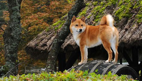 all about the shiba inu shiba inu all about dogs