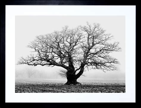 oak tree black white mist fog photo framed print