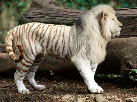 imagenes de leones albinos tigre leon albino kl by kirlinx on deviantart