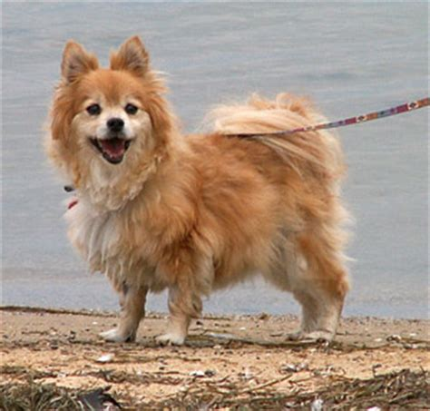 different types of pomeranian dogs different types of dogs with pictures breeds of dogs