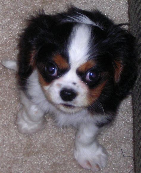king charles cavalier puppies cavalier king charles spaniel puppies in wi breeds picture