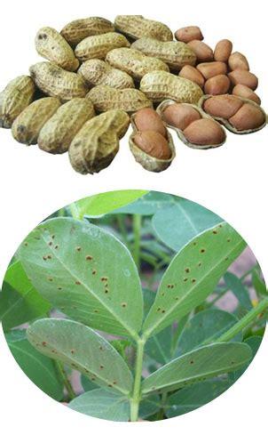 pengendalian penyakit karat  kacang tanah info