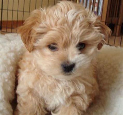maltese puppies for sale in ma morkie puppies for sale in ma zoe fans baby animals morkie