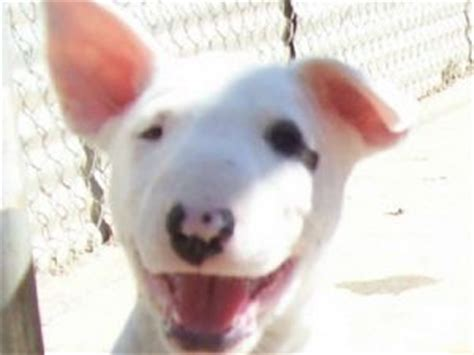 bull terrier puppies florida bull terrier puppies for sale