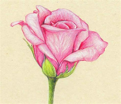 Drawing Of Flowers by Colour Pencil Drawings Of Flowers Flower Drawing