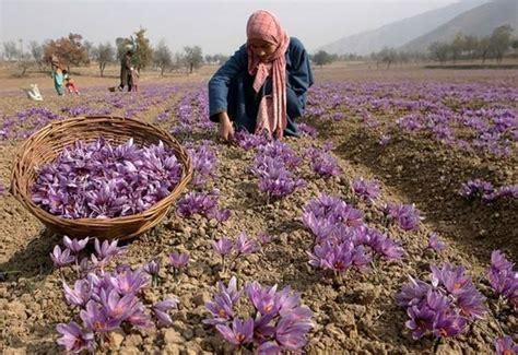 coltivare lo zafferano in vaso coltivare lo zafferano aromatiche come coltivare lo