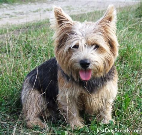 Do Norfolk Terriers Shed by Norwich Terrier Dogs I Want Norwich