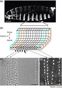 pattern formation in cells divide and conquer pattern formation in drosophila