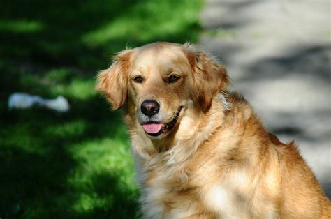 images of dogs free stock photo of golden retriever pet