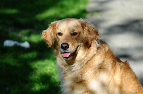 golden retriever as a pet free stock photo of golden retriever pet
