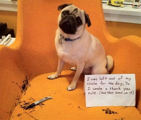 pug runt 40 of the greatest pet shamings taken