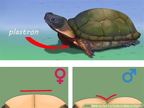 how to tell a 4yr how babies come out of mommys tummy how to tell if a turtle is male or female 8 steps with
